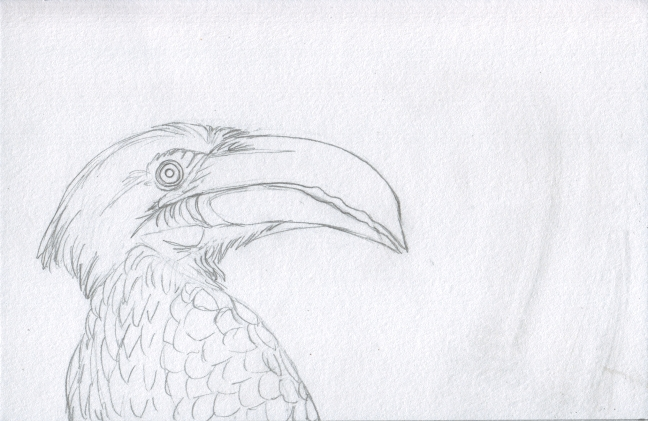 01 Hornbill and Kingfisher Sketch1