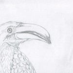 02 Hornbill and Kingfisher Sketch2