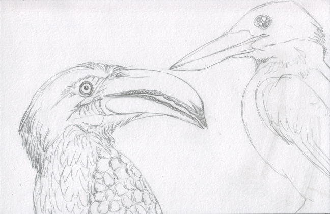 03 Hornbill and Kingfisher Sketch3
