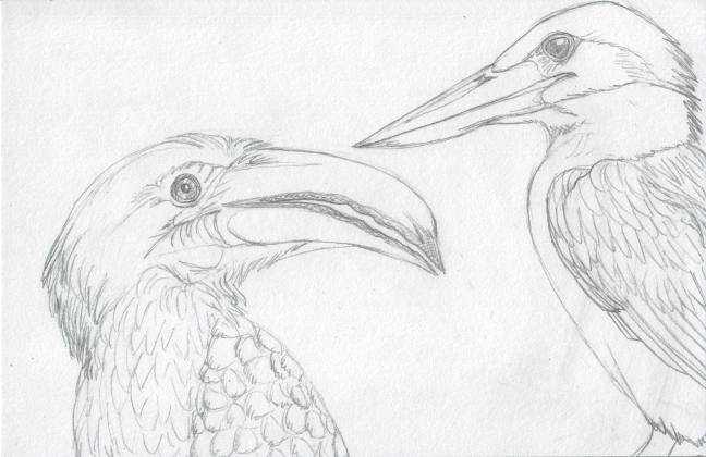 04 Hornbill and Kingfisher Sketch4